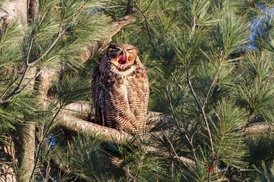 Great Horned Owl yawning