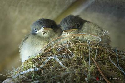 Phoebe nestlings