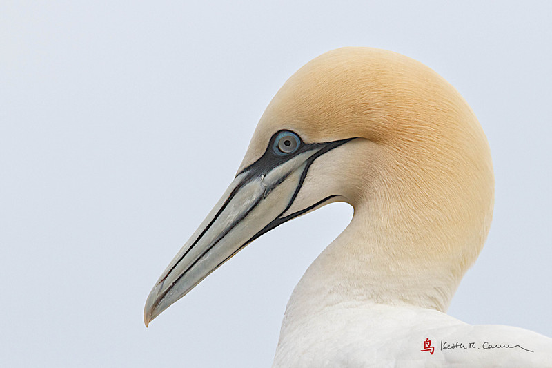 Northern Gannet head detail