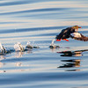 Black guillemot, breeding plumage, with seaworm on takeoff