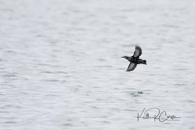 Black guillemot, nonbreeding plumage