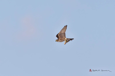 Merlin with Snow Bunting