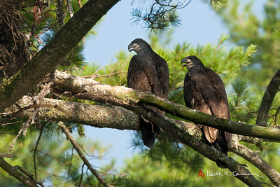 Bald Eaglets, 3 months old