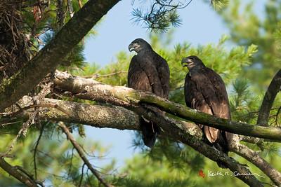 Bald Eaglets, 3 months old