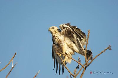 Rough-legged Hawk, light morph