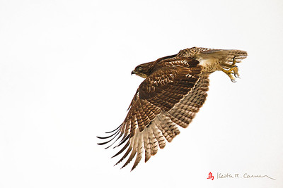 Red-tailed Hawk, Honey Pot, Hadley, Massachusetts