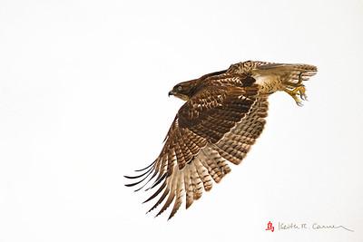 Red-tailed Hawk, Honey Pot, Hadley, Massachusetts