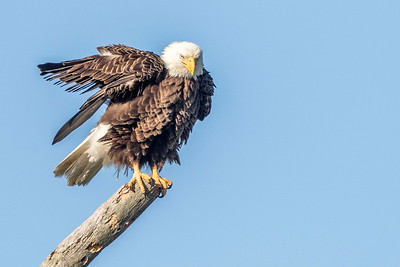 Bald Eagle, female