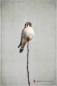 American kestrel, perched