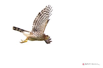 Coopers Hawk, juvenile