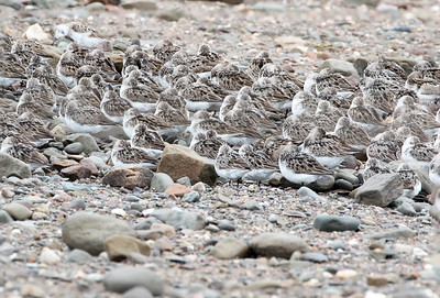 Roosting Semipalmated sandpipers, Johnsons Mills, New Brunswick, August 12, 2015