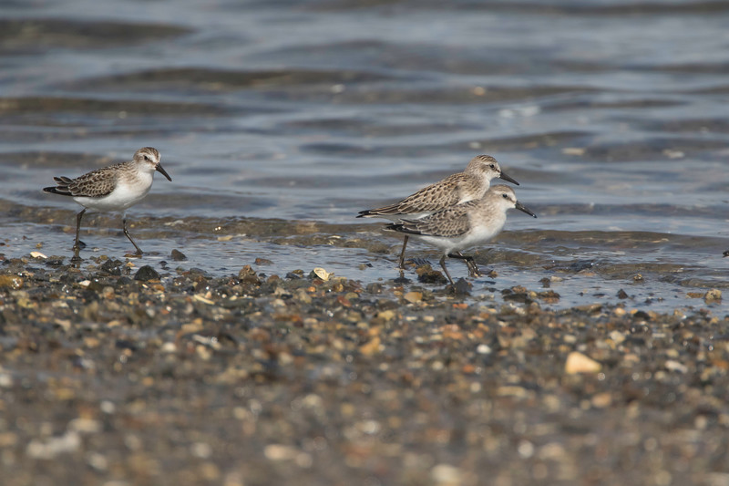 Semipalmated sandpipers, Pine Point, Scarborough, Maine, August 31, 2017