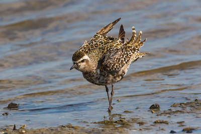 American golden plover fluffing feathers