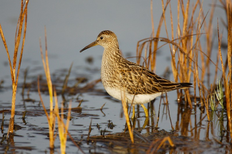 Pectoral sandpiper, Weskeag Marsh, South Thomaston, Maine, August 2007