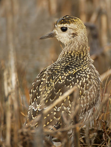 American golden plover, non-breeding, Weskeag Marsh, October 1, 2007