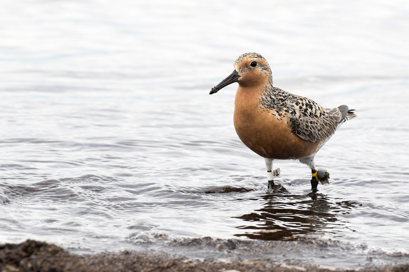 Red knot, breeding plumage, banded, Cape May, NJ May 22, 2016