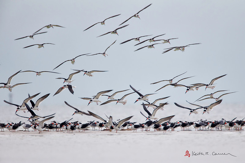 Black skimmers landing at Bunche Beach, January 19, 2013