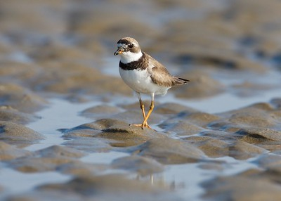 Semipalmated plover, Popham Beach, Maine, August 2007