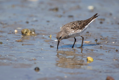 White-rumped sandpiper, Pine Point, Scarborough, Maine, August 20, 2014