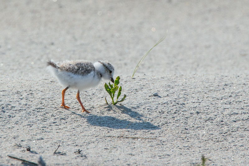 Piping Plover chick explores a newfound world