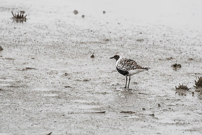 Black-bellied plover, breeding plumage, Heislerville Marsh, NJ, 21May2016