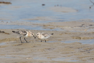 Sanderlings, Hills Beach, Biddeford, Maine, August 31, 2017