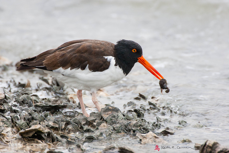 American Oystercatcher with oyster