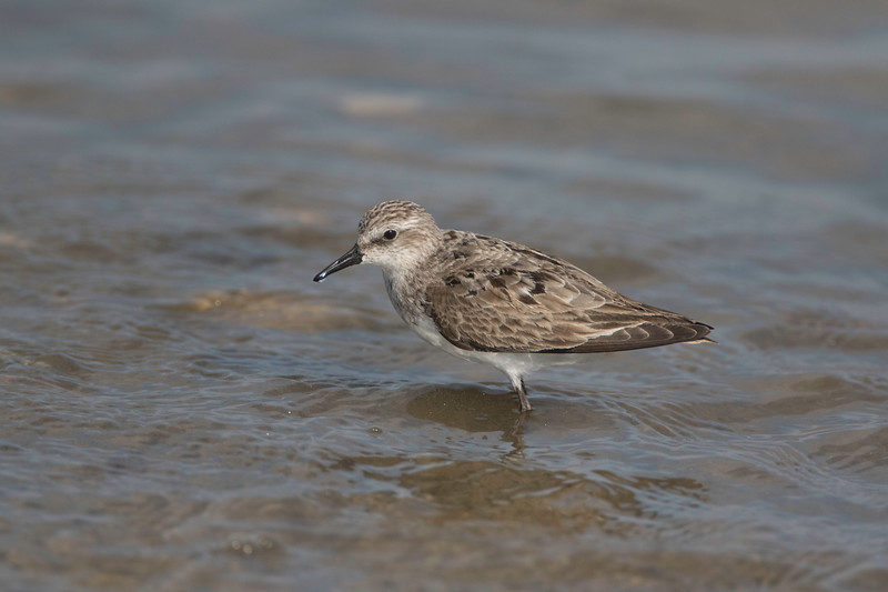 Semipalmated sandpiper, Pine Point, Scarborough, Maine, August 31, 2017