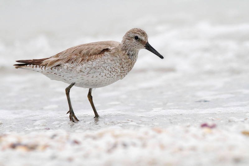 Red knot, winter plumage, Sanibel, Florida, February 25, 2011