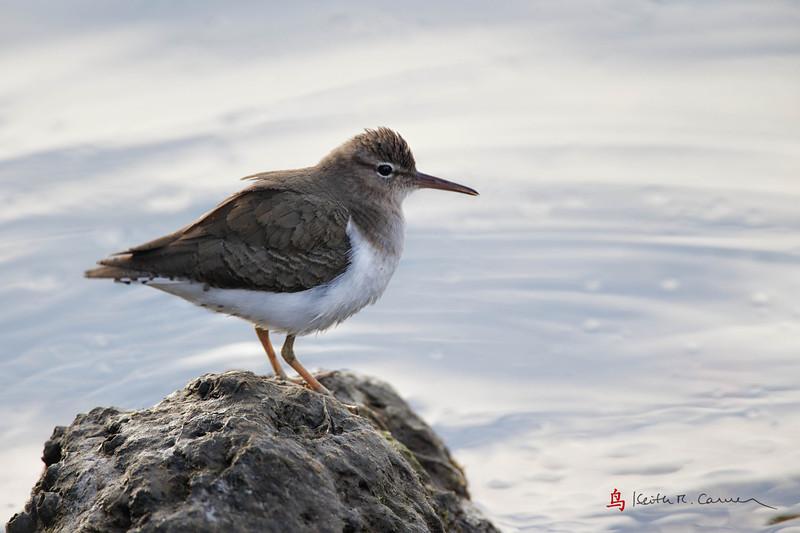 Spotted Sandpiper, non-breeding plumage