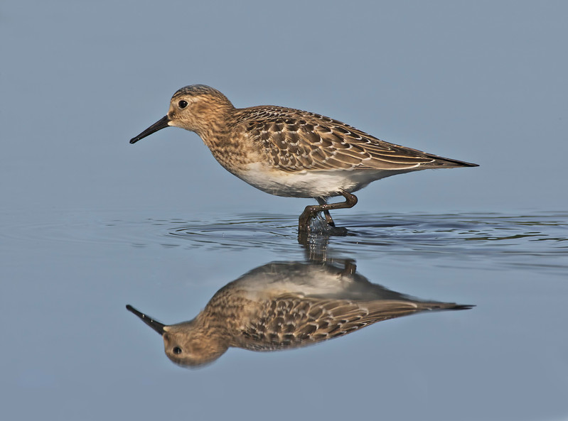 Baird's sandpiper, Weskeag Marsh, South Thomaston, Maine, August 20, 2008