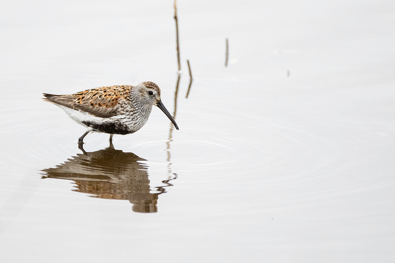Dunlin, breeding plumage