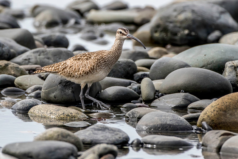 Whimbrel, Anchor Point, Alaska, May 22, 2015