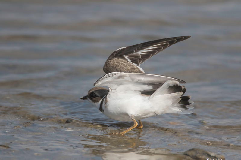 Wings up - Semipalmated plover, Pine Point, Scarborough, Maine, August 31, 2017