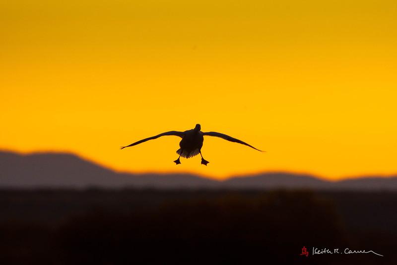 Snow Goose landing at dawn