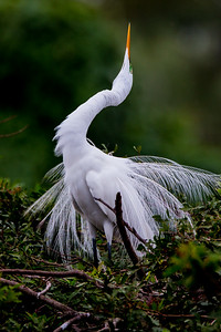 "Great Egret, mating display ""stretch"""