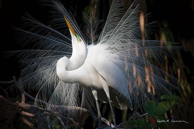 Great Egret, breeding plumage display
