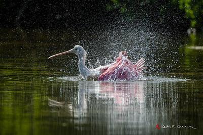 Roseate Spoonbill bathing