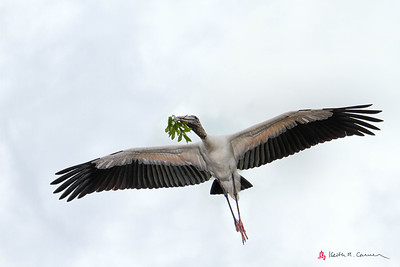 Wood Stork ferrying nest stick
