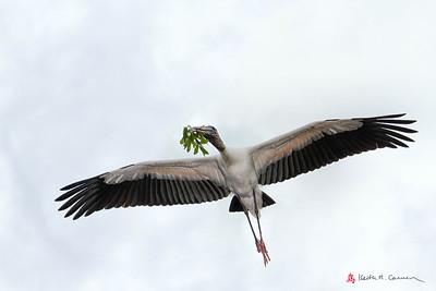 Wood Stork ferrying nest stick