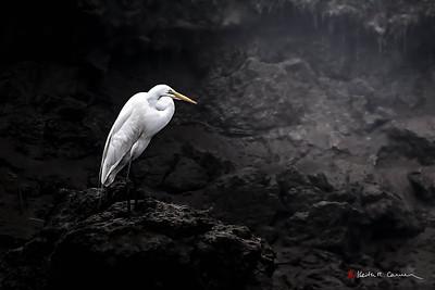 Great Egret in dark