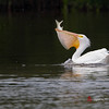American White Pelican swallows Snook