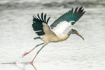 Wood Stork takeoff, Ding Darling NWR