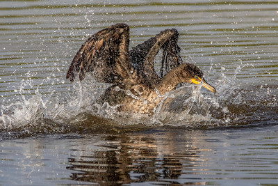 Double-crested Cormorant splashing for fish