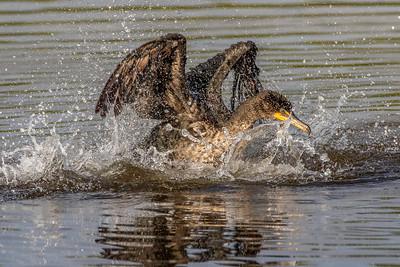 Double-crested Cormorant splashing for fish