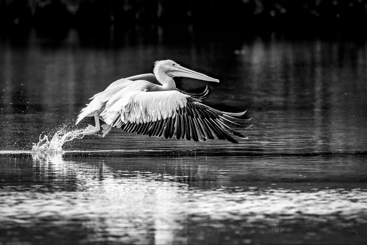 American White Pelican on takeoff