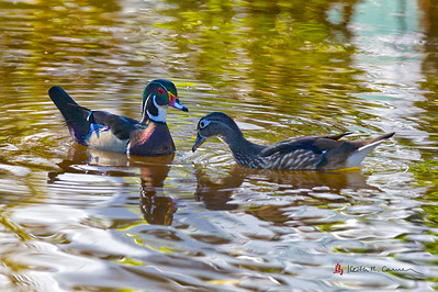 Wood ducks, drake and hen
