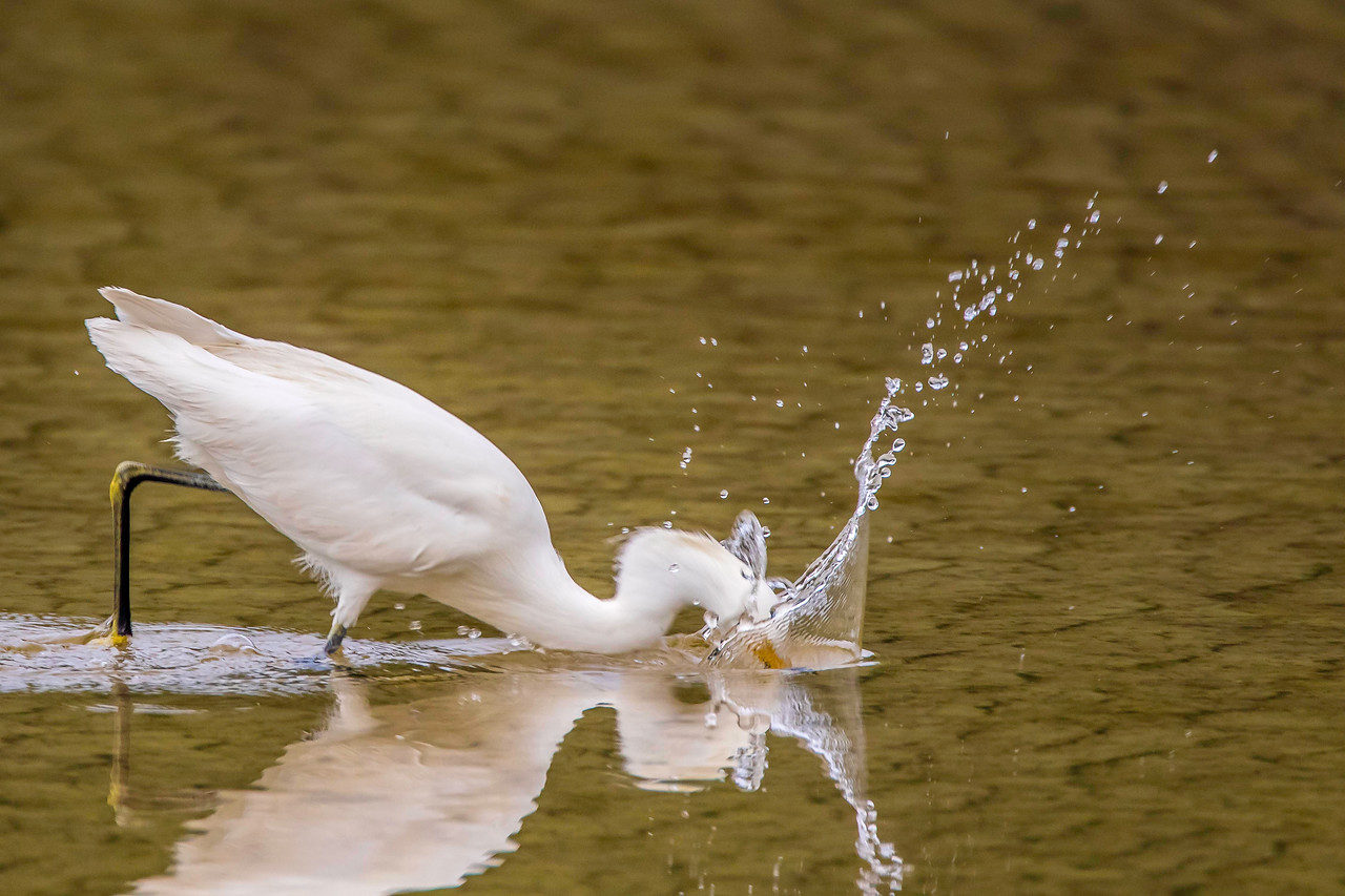 Snowy Egret plunges for fish