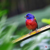 Painted Bunting, Corkscrew Sanctuary