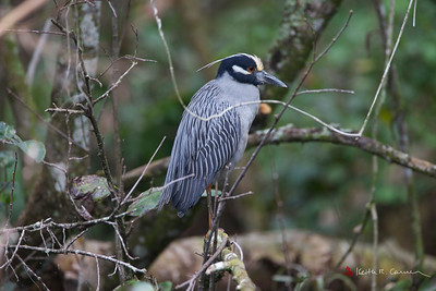 Yellow-crowned Night Heron, adult